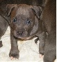 Pure Breed Male/Female Pitbull Puppies Puppies For Lovely Homes.